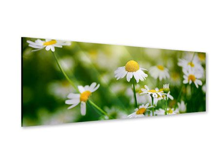 Panoramic Acrylic Print The Daisy