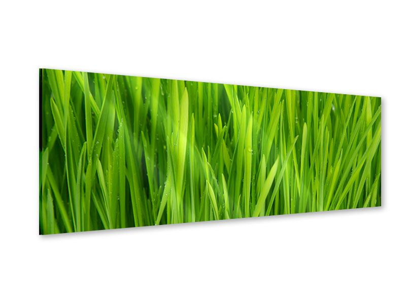 Panoramic Acrylic Print Grass In Morning Dew