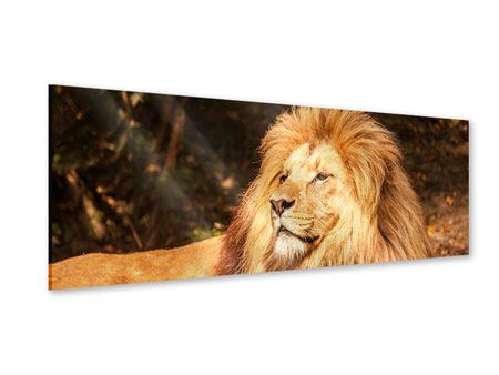 Panoramic Acrylic Print Lion