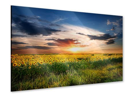 Acrylic Print A Field Of Sunflowers