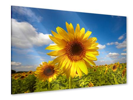 Acrylic Print Field Of Sunflowers