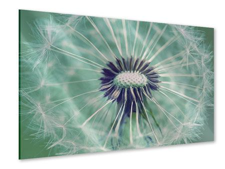 Acrylic Print Close Up Dandelion