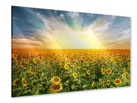 Acrylic Print A Field Full Of Sunflowers