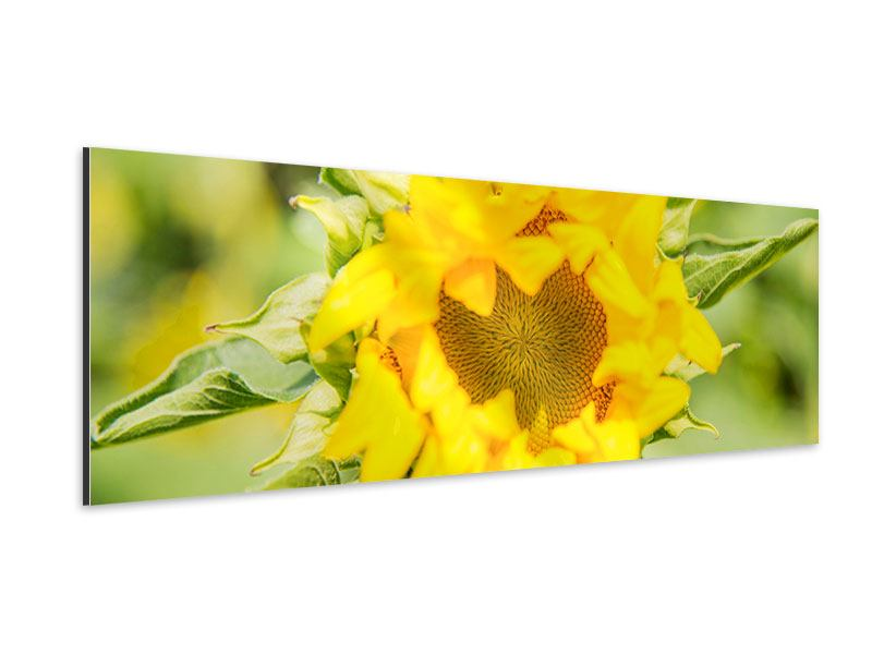 Panoramic Aluminium Print Wild Sunflower