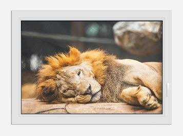 Window Print Relaxed Lion