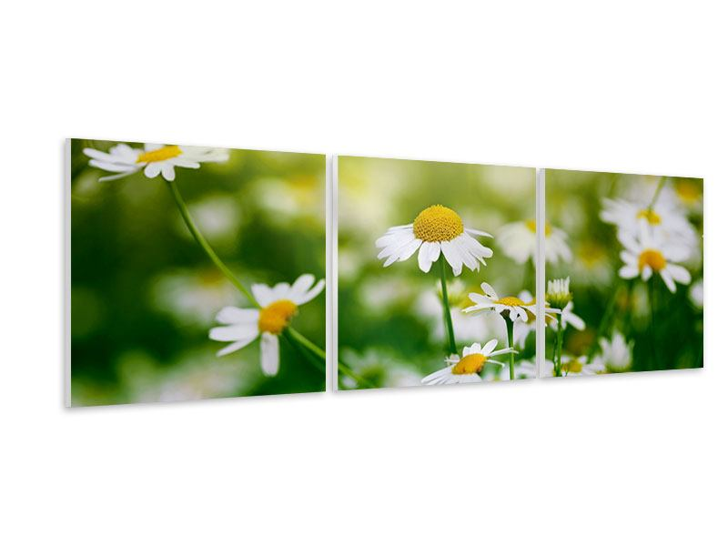 Panoramic 3 Piece Forex Print The Daisy