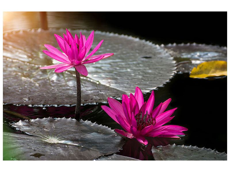 Forex Print Water Lily In The Morning Dew