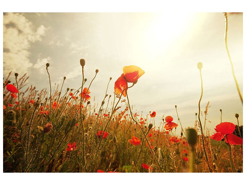 Forex Print The Poppy Field At Sunrise