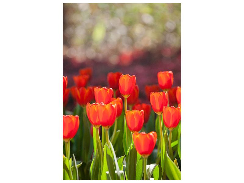 Self-Adhesive Poster The Red Tulip Bed