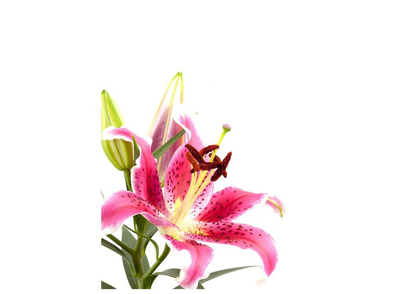 Self-Adhesive Poster Lily Pretty In Pink