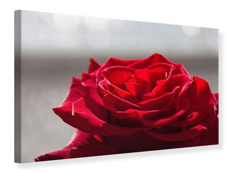 Canvas Print Red Rose Blossom