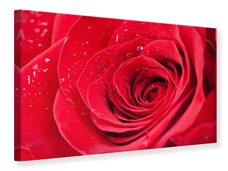 Canvas Print Red Rose In Morning Dew
