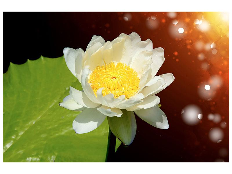 Poster Water Lily In The Moonlight