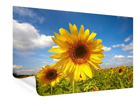 Poster Field Of Sunflowers