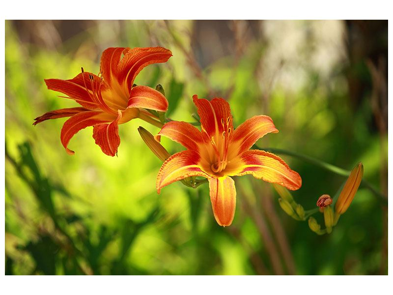 Poster Lilies In Nature