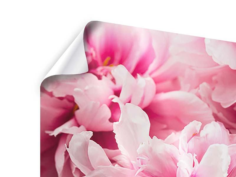 Poster Peonie